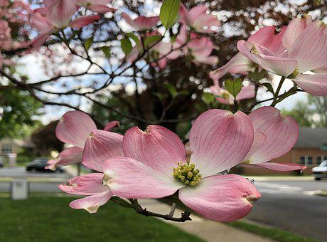 Dogwood, Spring, Blossom, Nature, Green, Summer