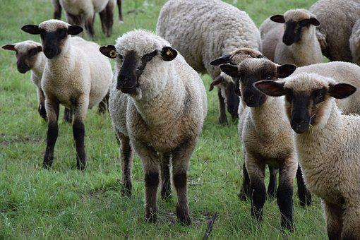 Animals, Sheep, Pasture, Nature, Wool, Cattle, Flock