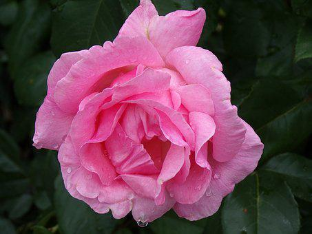 Pink, Garden, Flower, Nature, Petals, Water
