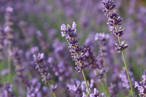 Lavender, Summer, Flowers, Purple, Nature, Garden