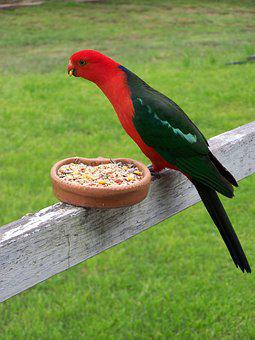 King Parrot, Bird, Wildlife, Avian, Perched, Parrot