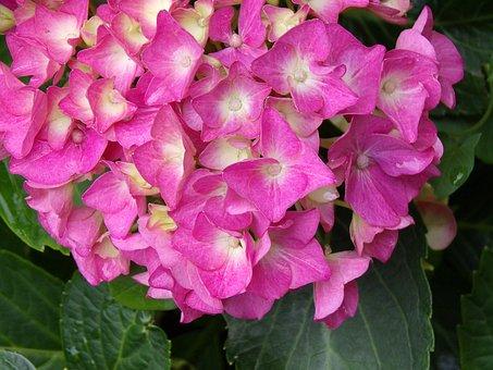 Flower, Hydrangea, Pink, Petals, Garden, Nature