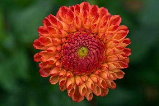 Dahlia, Blossom, Bloom, Flower, Plant, Dahlia Garden