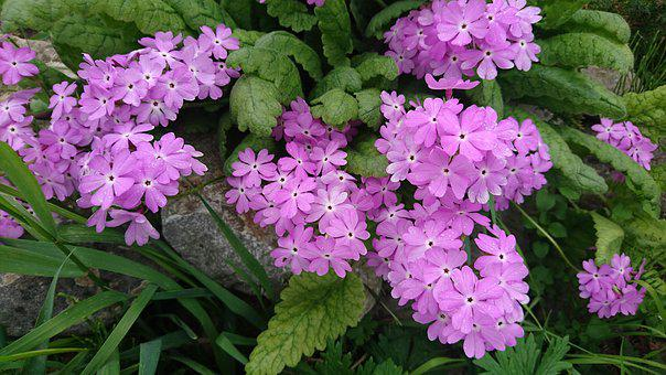 Primrose, Flower, Bloom, Plants, Nature, Primula, Flora