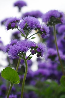 Plant, Purple, Garden, Nature, Blossom, Bloom, Flower
