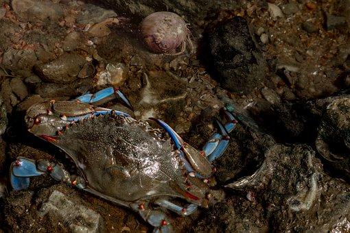 Blue Crab, Hermit Crab, Sea, Saltwater, Seafood, Crab