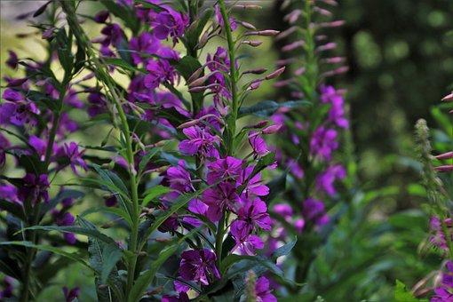 In The Forest, Pink Flowers, Wierzbówka, Summer