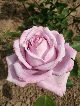 Summer, Rose, Flowers, Garden, Macro, Nature