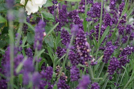 Lavender, Flower, Nature, Purple, Plant, Summer
