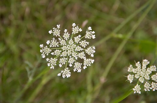 Queen Anne's Lace, Nature, Weed, Wildflower, Summer