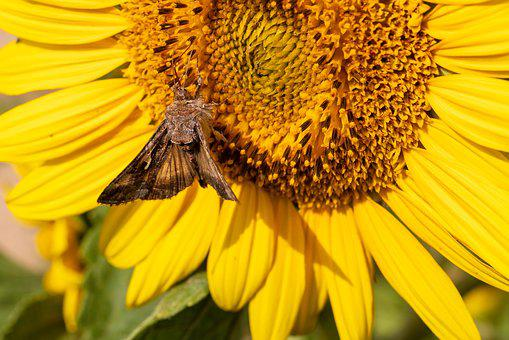 Butterfly, Sunflower, Summer, Garden, Insect, Nature