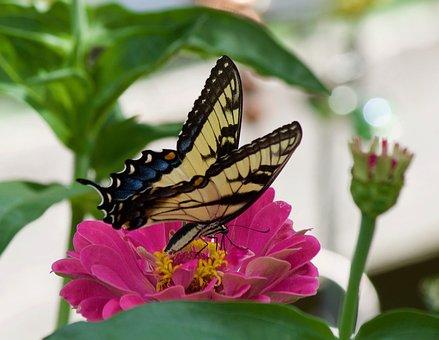 Swallowtail Butterfly, Butterflies, Swallowtail
