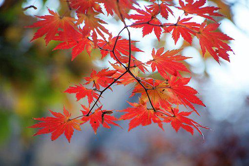 Autumn Leaves, Autumn, The Leaves, Nature, Red, Plants