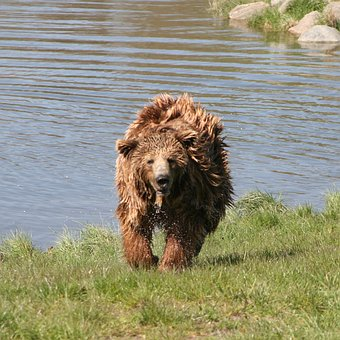 Brown Bear, The Scandinavian Wildlife Park, Kolind