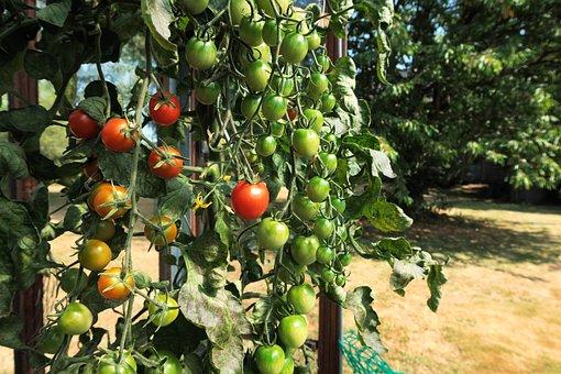 Garden, Summer, Nature, Tomatoes
