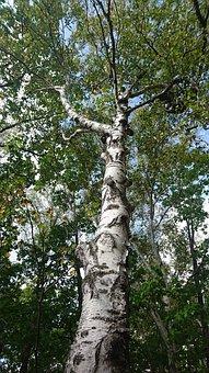 Birch, White Birch, Tree, Trunk, Nature, Forest, Summer