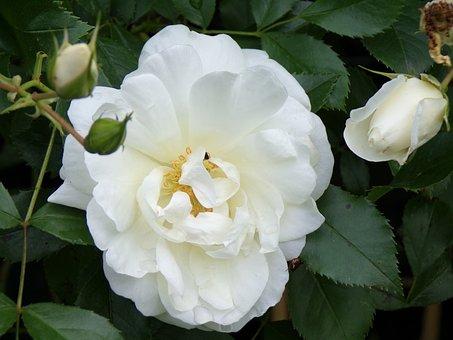 Pink, White, Flowers, Nature, Garden