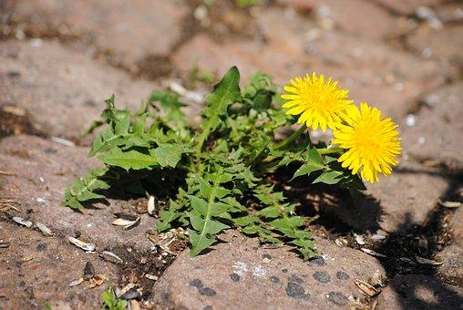 Dandelion, Paving Stones, Flower, Plant, Stones, Yellow