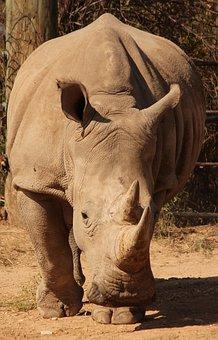 Rhino, Animal, Zoo, Africa, Rhinoceros, Pachyderm, Horn