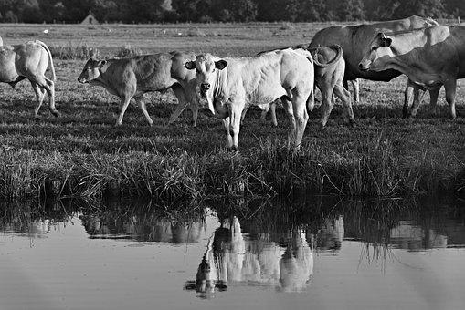 Bull, Cow, Cattle, Animal, Mammal, Livestock, Herd