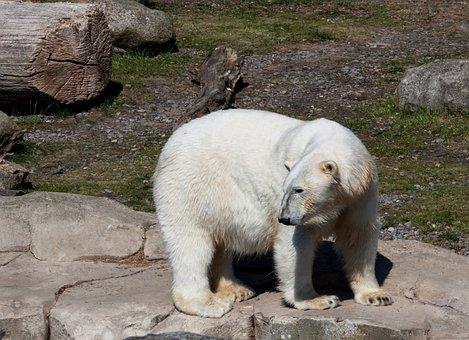 Polar Bear, Animal, Predator, Animal World, Mammal