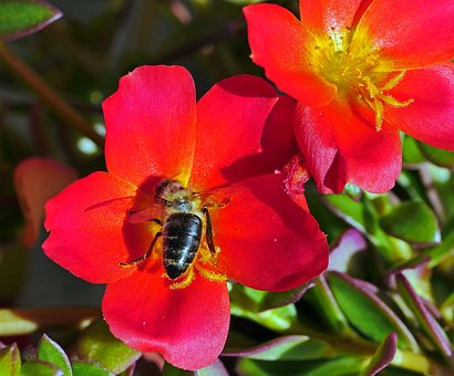 Portulaca Grandiflora, Summer Flowers, Balcony Plant