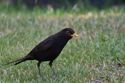 Blackbird, Male, Bill, Food, Animal, Sitting