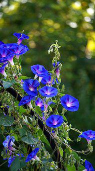 Superb Thread, Blossom, Bloom, Blue, Morning Glory