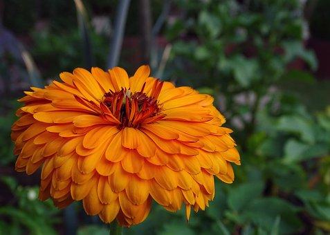 Marigold, Calendula, Composites, Orange, Blossom, Bloom