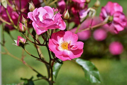 Bush Rose, Rose, Bush, Blossom, Bloom, Wild Rose, Roses