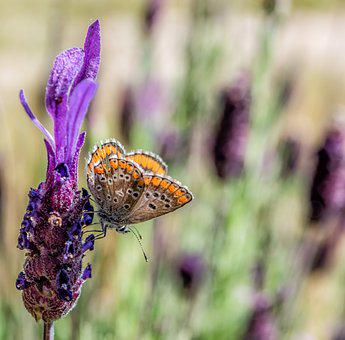 Butterfly, Nature, Lavender, Insects, Animals, Summer
