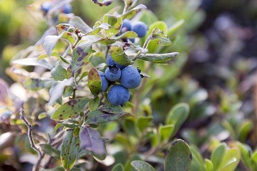 Blueberries, Canada, Blueberry Plant, Blueberry, Bush