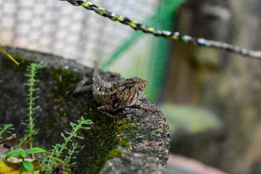 Animal, Chameleon, Nature
