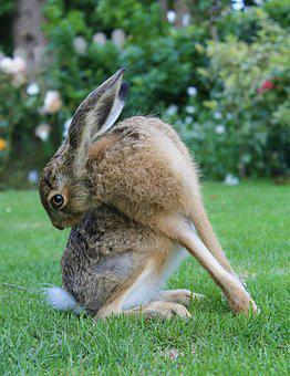 European Brown Hare, Young Hare, France, Cleaning