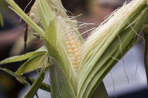 Sweetcorn, Summer, Corn, Maize, Cob, Kernel, Sweet
