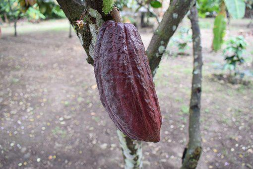 Colombia, Cocoa, Fruit