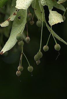 Linden Flowers Fruit, Infructescence, Cover Sheet