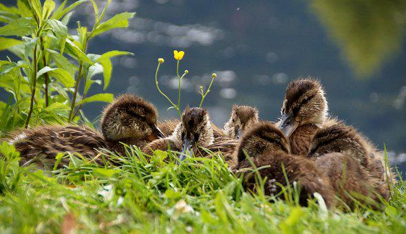 Ducks, Ducklings, Mallard Duck, Cub, In The Grass