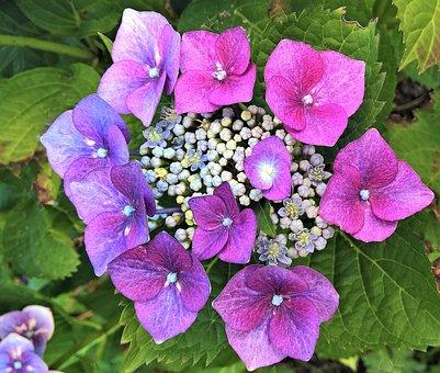 Flower, Hydrangea, Pink Purple Flowers, Double Flowers