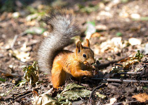 Squirrel, Animals, Autumn, Tail, Walnut, Rodent, Eating
