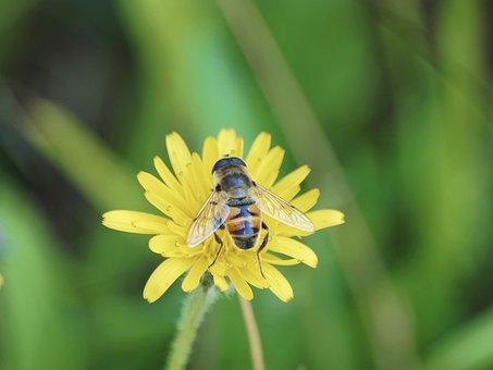 Insect, Eristale Slimy, Eristale Tenacious