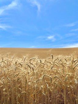 Wheat, Harvest, Farming, Grain, Blue, Brown, Tan, Farm