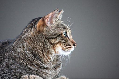 Cat, Fat Cat, Animals, Pet, Feline, Mouth, Kitty, Furry