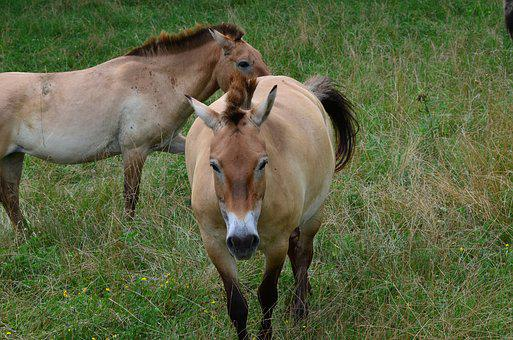 Horse, Wild, Feral, Grass, Natural, Mane, Brown