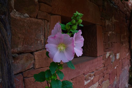 Hollyhock, Pink, Flower, Bud, Red Wall