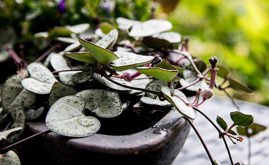 Flower Chandelier, Ceropegia Wodii, Flower, Plant