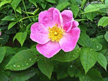 Rose, Drop Of Water, Flower, Blossom, Bloom, Petals