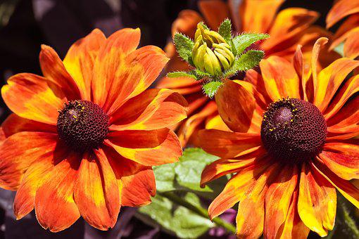 Flowers, Coneflower, Blossom, Bloom, Nature, Summer