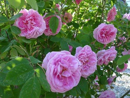 Spring, Flowers, Nature, Paeonia, Peony, Peonies
