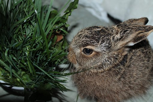 Leveret, European Brown Hare, Young Hare, France